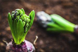hyacinth-bulb-e1487860275905